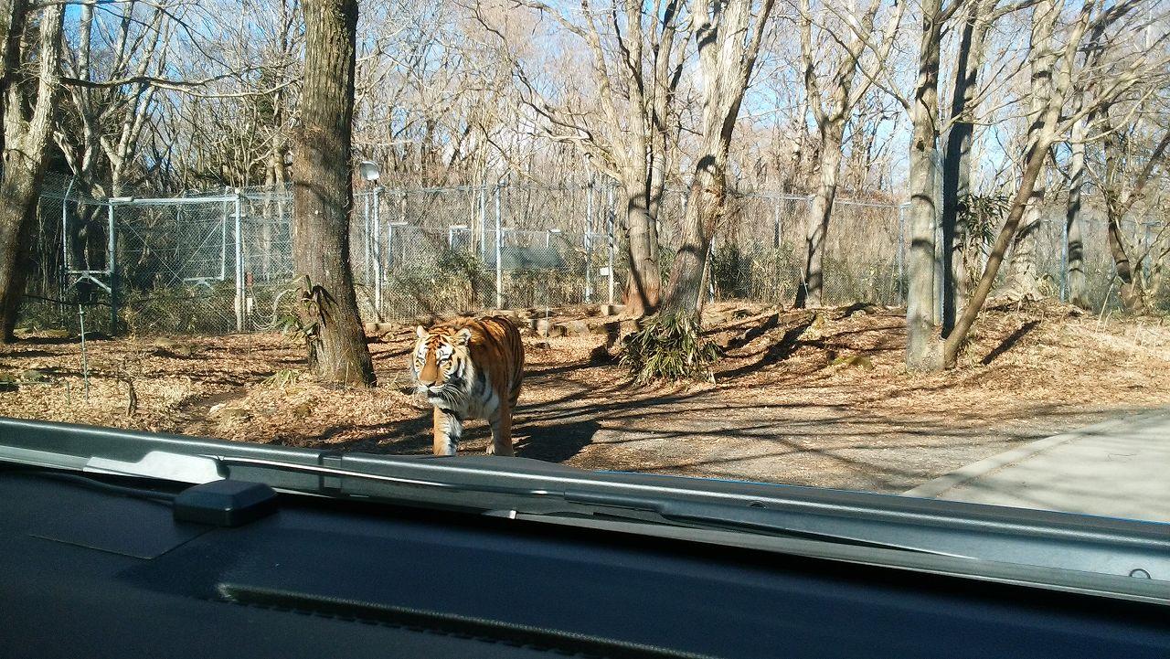 近くにトラ