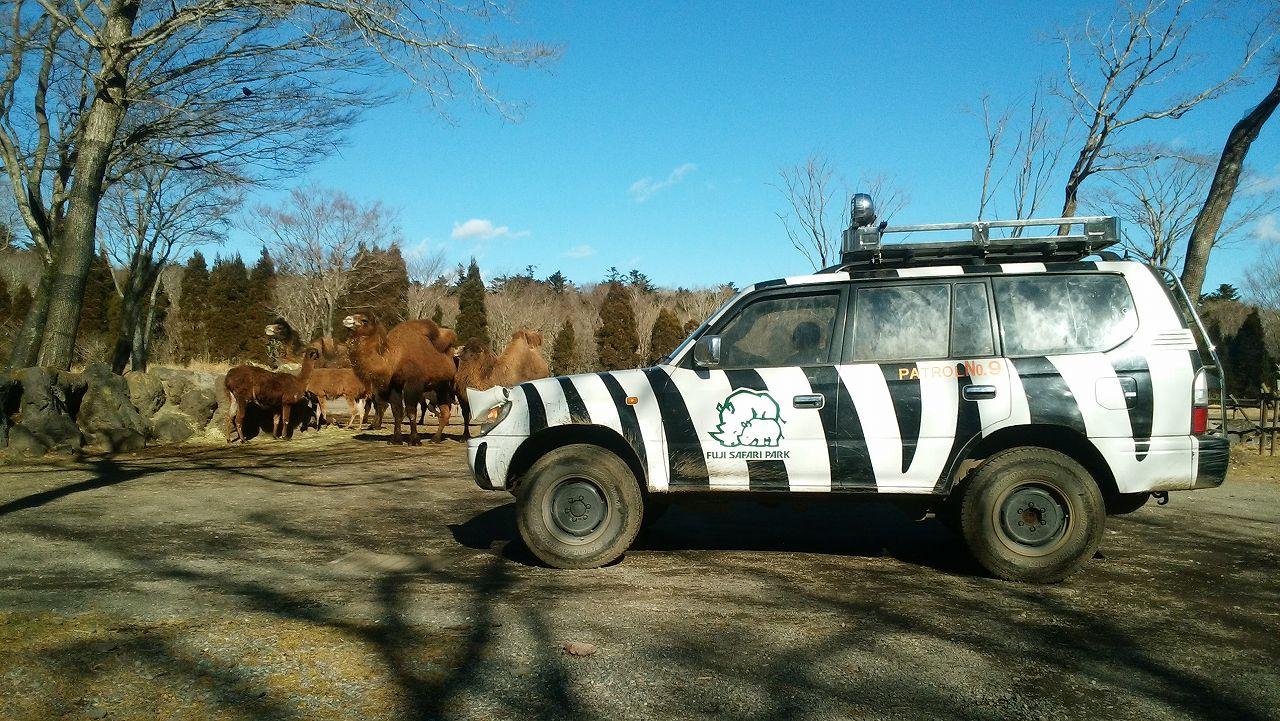 ラクダと車